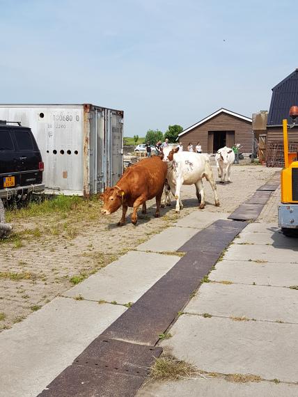 Koeien mochten weer naar buiten