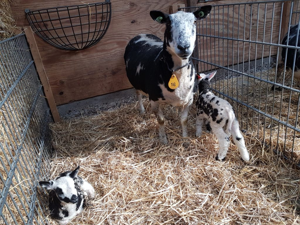 Eerste lammetjes zijn geboren