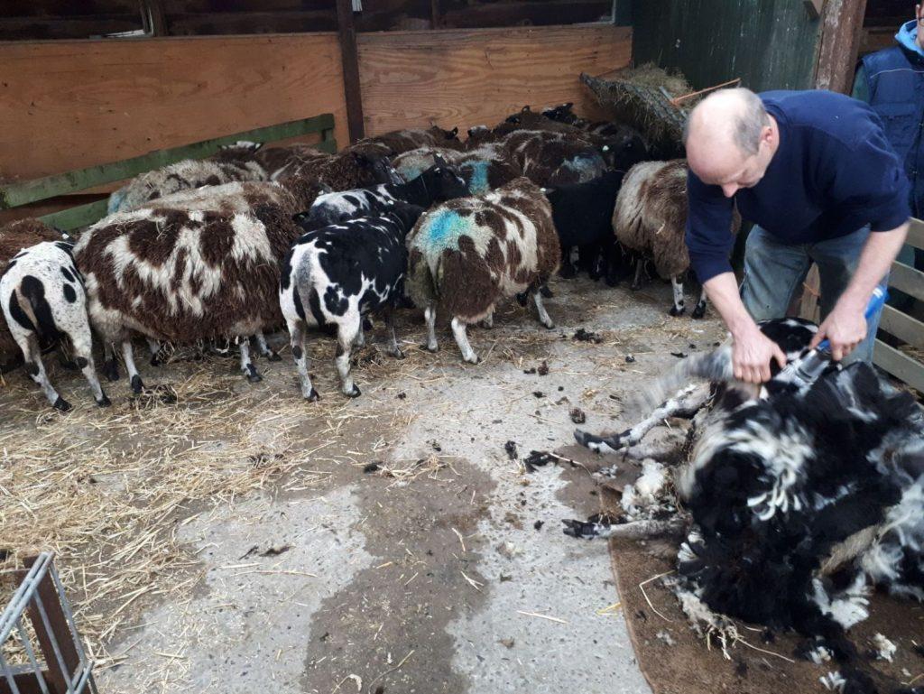 Vandaag zijn alle schapen geschoren